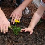 transplantar una planta